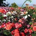 バラの花観賞&絶品イタリアンランチの昼食