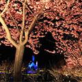 なばなの里 梅・しだれ梅・河津桜まつりとイルミネーション観賞