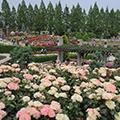 """鮮やかに咲き香るバラの名所・荒牧バラ公園と昭和の名建築""""白鶴美術館""""で美術鑑賞とクラシックでお洒落な神戸北野ホテルでちょっと贅沢なフレンチの昼食"""