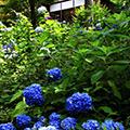 大原三千院のあじさい祭りと花と湖に囲まれたびわ湖イングリッシュガーデン季節の花観賞と初夏の爽やかな風を感じる琵琶湖ミシガンクルーズ