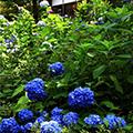 「大原三千院あじさい祭り」のあじさい祭りと花と湖に囲まれたびわ湖イングリッシュガーデン季節の花観賞と初夏の爽やかな風を感じる、琵琶湖ミシガンクルーズ