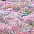 - 感動を呼ぶ美しさ!春薫る、梅としだれ梅の美しき競演 - 4000本以上の梅が咲き乱れる!いなべ市農業公園・梅まつりと約200本のしだれ梅が咲き誇る!鈴鹿の森庭園・しだれ梅まつり